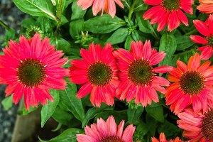 Group of red Echinacea flowers