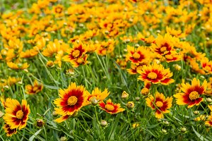 Meadow of yellow and red daisies