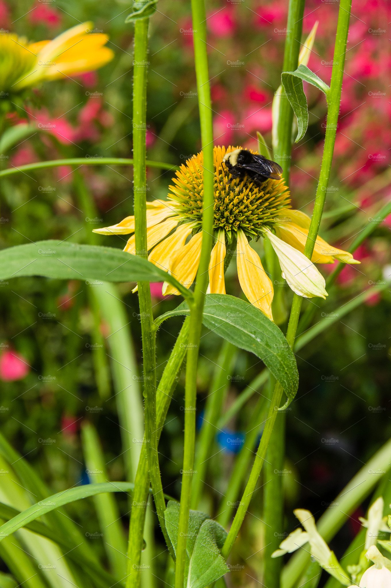 Yellow Echinacea Flower With Bee Nature Photos Creative Market Pro