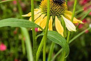 Yellow Echinacea flower with bee