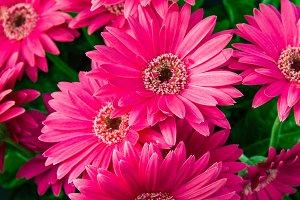 Pink Gerbera Daisy flowers in bloom