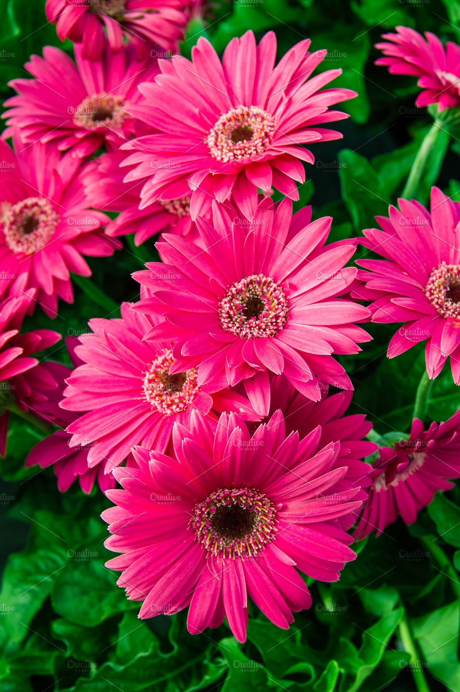 Pink Gerbera Daisy Flowers In Bloom Nature Photos Creative