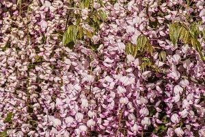 Wisteria vine in full bloom