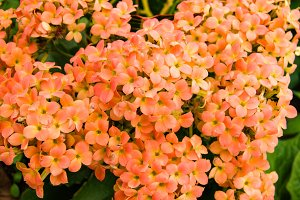 Orange Kalanchoe flowers in bloom