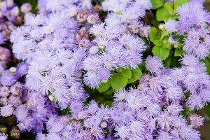 Purple ageratum flowers in bloom