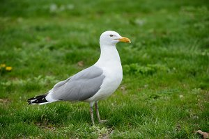Seagull bird standing on green grass