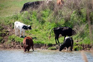 cows come to drink water from the lake in village