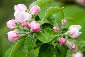 apple blossoms as background close up macro