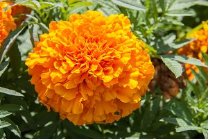marigold yellow flower blooming beautiful in garden. Tagetes erecta, Mexican marigold, Aztec marigold, African marigold
