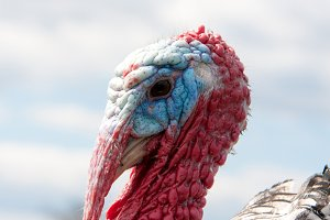 turkey male or gobbler closeup on the cloudy sky background