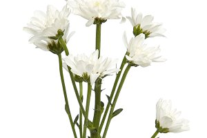 bouquet white chrysanthemums