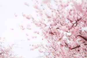 Pink sakura, cherry flowers