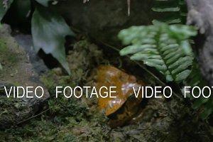 Tomato frog, endemic to Madagascar