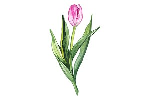 Watercolor tulip flower vector