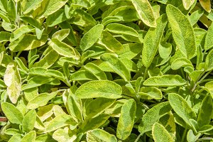 Green variegated sage plants