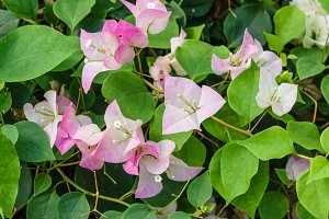 Pink Bougainvillea flowers in bloom