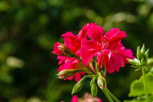 Red geranium flower with petals and buds