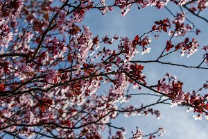 Pink cherry blossoms with blue sky
