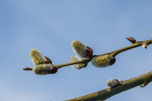 Spring buds of the willow or Salix plant