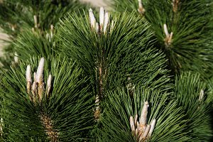 Pine tree with fresh candles and needles