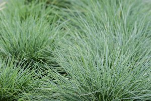Festuca glauca grass in a planting bed