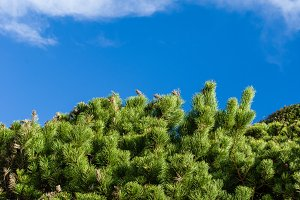 Green pine trees with blue sky