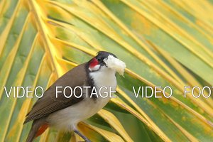 Red-whiskered bulbul eating bread