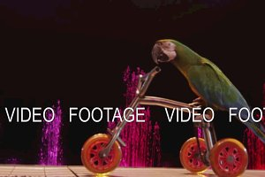 Macaw riding tricycle in the circus