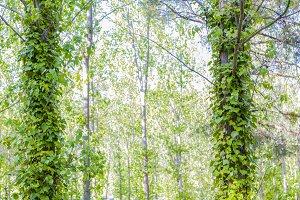 Green wild ivy