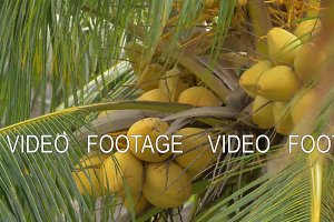 View of yellow green coconut in the bunch on coconut palm tree with huge leaves