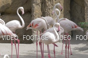 Group of Greater flamingos in the zoo