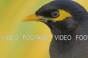 Black and yellow mynah bird
