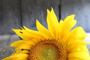 sunflower - flower background