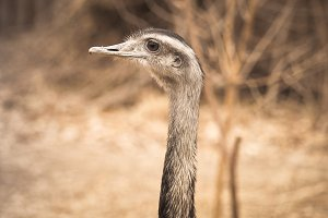 Ostrich long neck bird looking and watching outside with curiosity