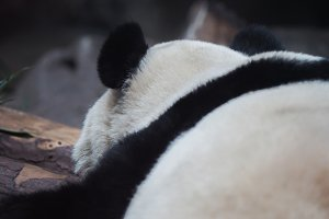 Close-up of Chinese panda bear sleeping in nature background - (selective focus)