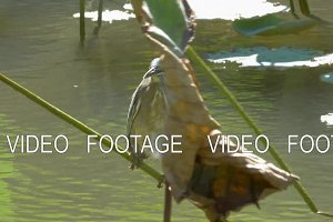 Little bittern on water plant
