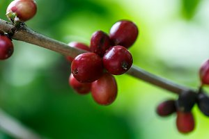 coffee fruits maturing on the branch