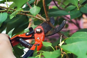 Pruning branch with secateurs