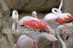 Greater flamingos in the zoo