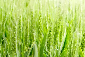Wheat field detail.jpg