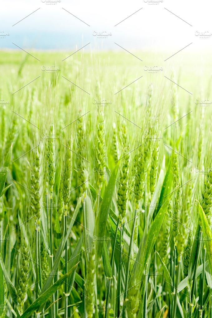 Wheat field detail.jpg - Nature