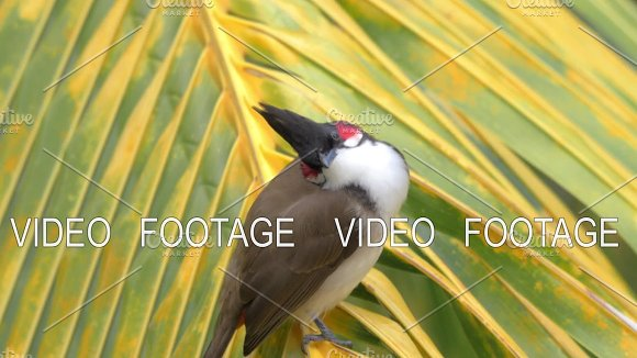 Red-whiskered Bulbul On Palm Leaf