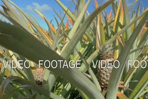 View of pineapple plants farm in summer season against blue sky, Mauritius Island