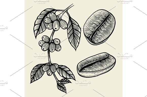 Coffee Plant Branch