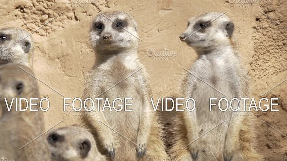 Group Of Suricates Stand Sentry