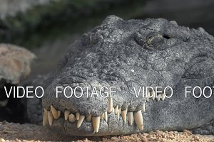 Crocodile with big teeth