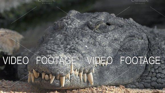 Crocodile With Big Teeth