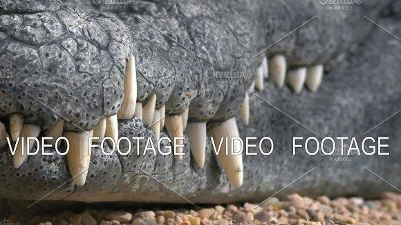 Crocodile Jaws With Big Teeth