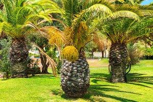 Big palm trees