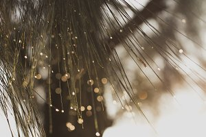 Pine needles with dew drops